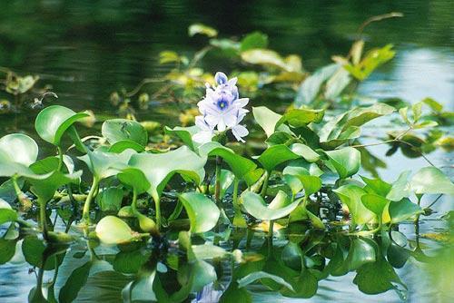 Миниатюра для: Томские ученые научились выводить растение, очищающее воду