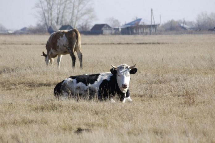 Миниатюра для: В Томской области открылся крупный животноводческий комплекс