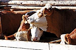 Животноводство в приоритете