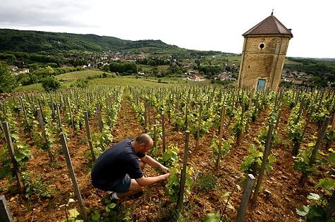 На экспериментальных виноградниках АлтГТУ уже в нынешнем году, как ожидается, соберут урожай винограда в 10 тонн, которых хватит на 10 тыс. бутылок вина.