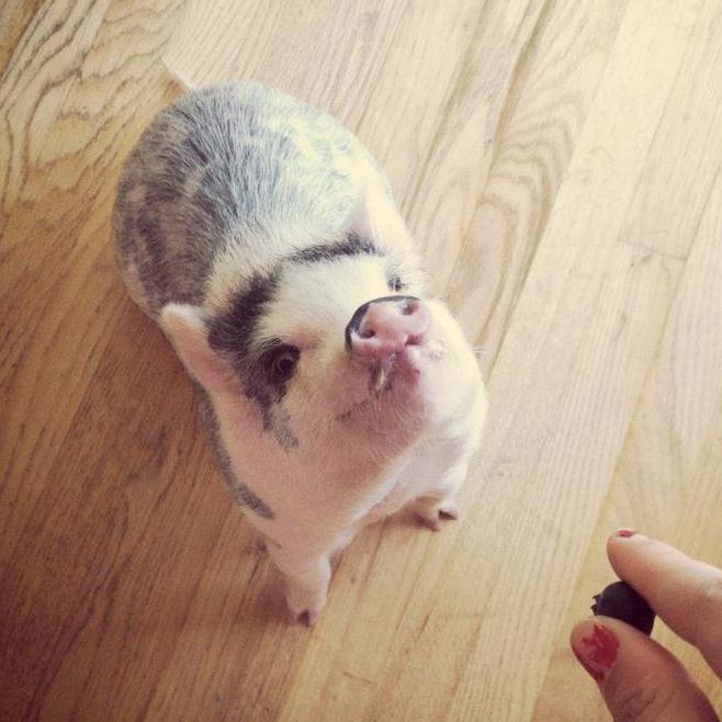 Карликовая свинья подвида мини-пиг откроет дорогу российским кардиоимплантам