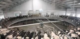 Средняя продуктивность каждой фуражной коровы в НСО за год выросла на 4%.