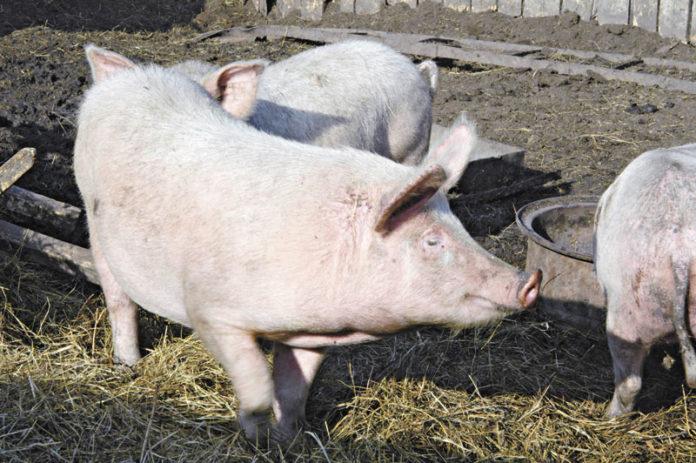 Миниатюра для: АО «Кудряшовское» приступит к строительству третьей очереди свинокомплекса во втором полугодии 2018