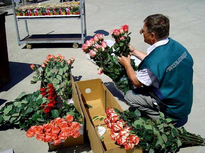 Миниатюра для: 16 тысяч роз из Казахстана не пустили на территорию Алтайского края