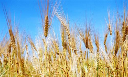 На внедрение науки для развития сельского хозяйства власти Новосибирской области потратят более 400 миллионов рублей
