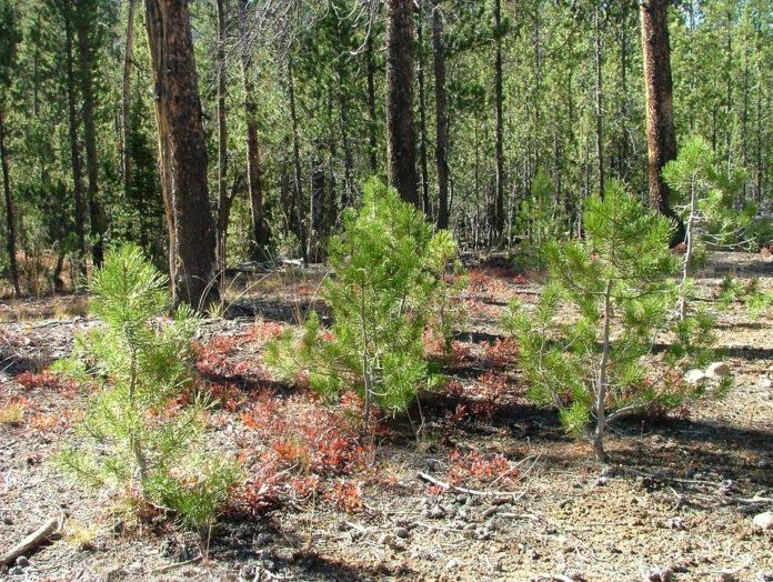 В Томской области восстановят леса на площади 42,5 тыс. гектаров