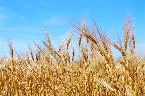 Миниатюра для: Алтайский край лидирует среди регионов России по охвату посевов агрострахованием