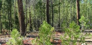 Более 26 млн рублей направят на лесовосстановление в Кемеровской области