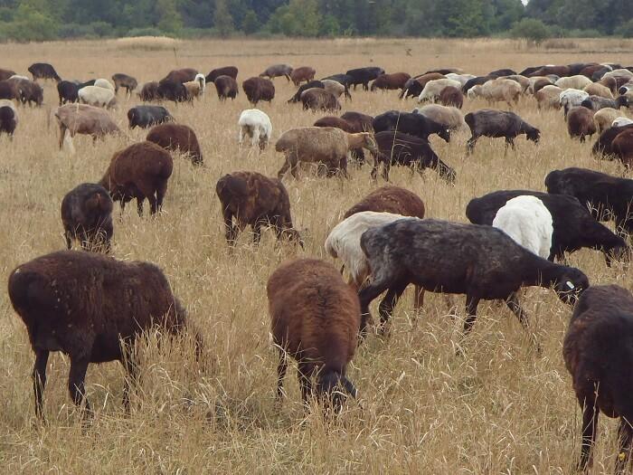 Алтайский край готовит первую партию племенных овец для Северной Кореи