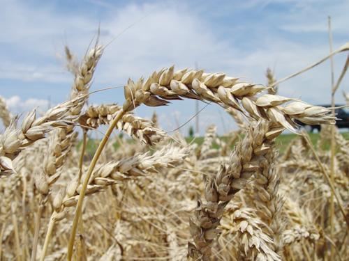 Миниатюра для: Китайцам увеличат поставки продукции новосибирских аграриев