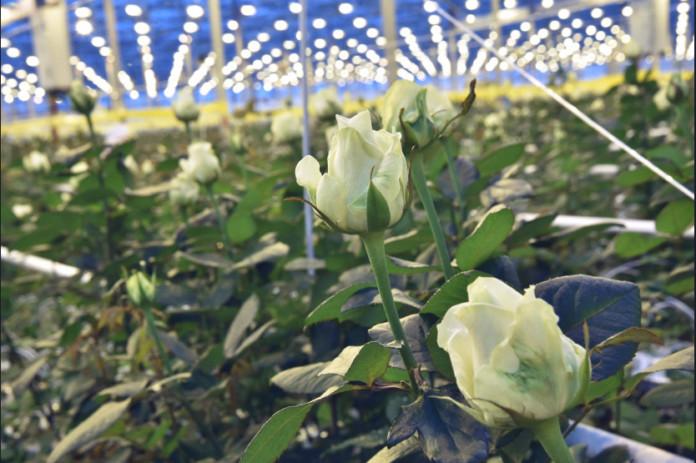 Миниатюра для: Новосибирский тепличный бизнес Бориса Горкунова перейдет с огурцов на розы