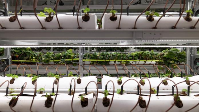 Миниатюра для: Новосибирская компания iFarm планирует запустить в 2021 году 50 новых ферм по выращиванию овощей, ягод и зелени