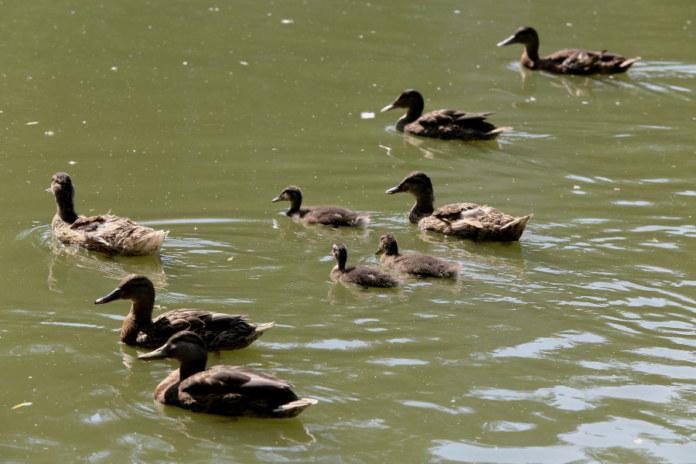 Утки, пруд