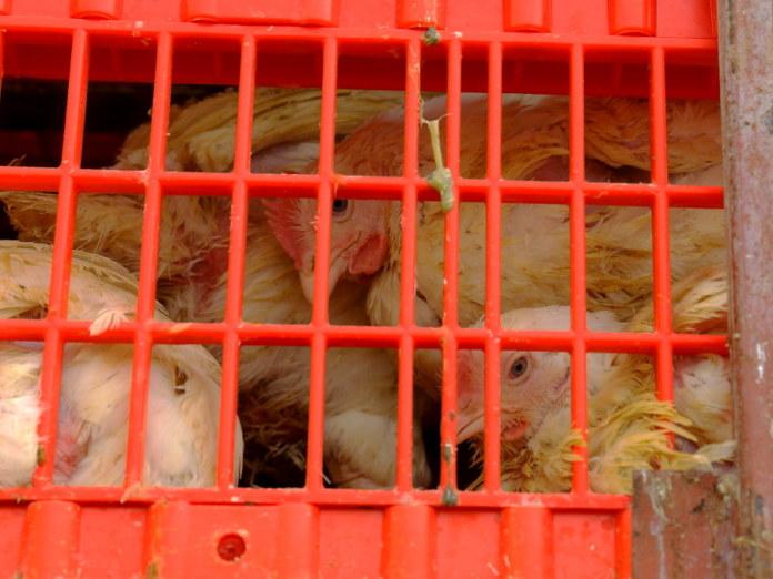 Миниатюра для: Магазины «Коченевской птицефабрики» начала занимать «Новосибирская птицефабрика»