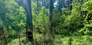 лес бор ели растения лето