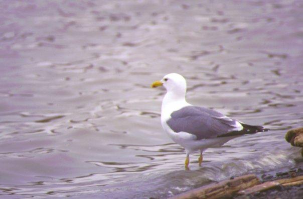 Птица, водоём, Норильск