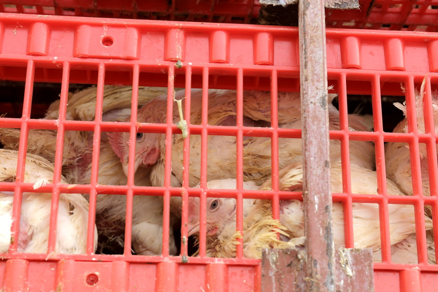 Почему дорожает курица в Сибири, и в каком состоянии находятся региональные птицефабрики? - Изображение