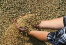 зерно в руках на току элеватор урожай зерновых